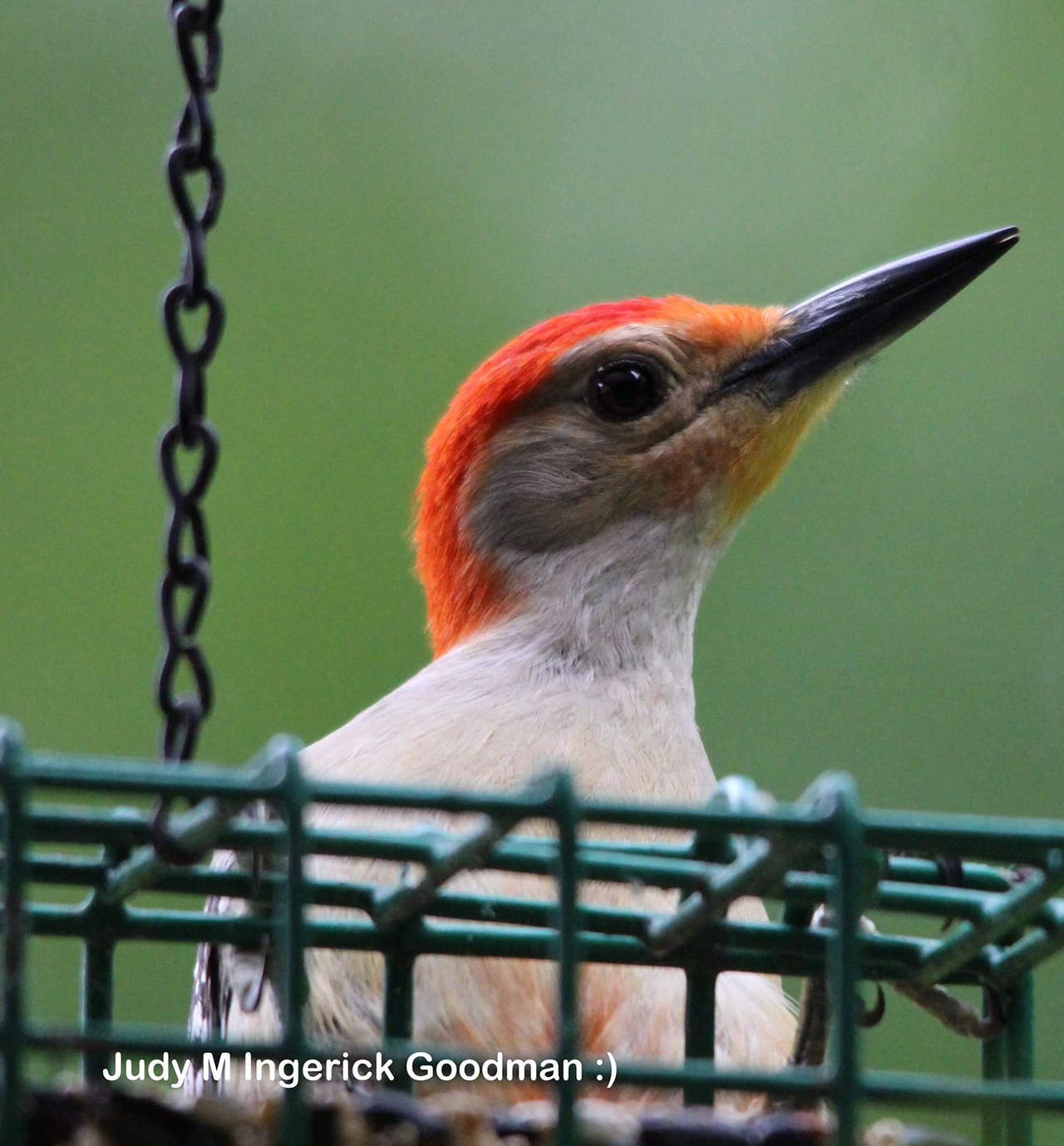 Red Bellied Woodpecker in Ontario County (photo)
